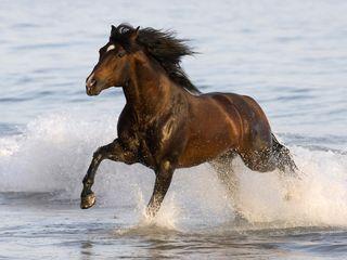 Bay-Azteca-Stallion